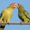 2 wild parrots