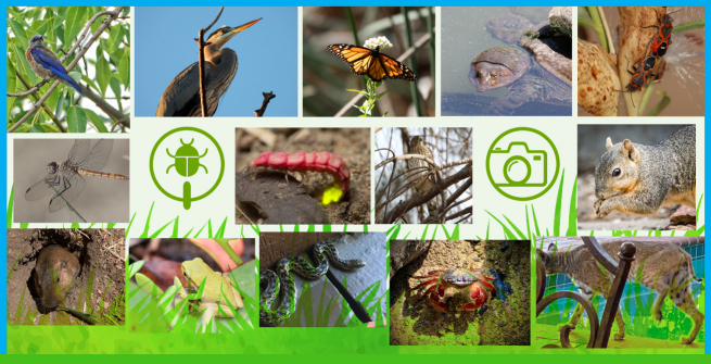 Collage of insects, reptiles and animals observed in first L.A. BioBlitz Challenge