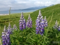 lupine on a hill near the ocean
