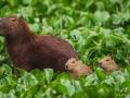 Capybara mom and three pups