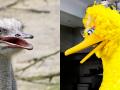 an ostrich and Big Bird